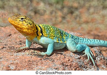 Colorful male Western Collard Lizard (Crotaphytus collaris) which is native to the southwestern United States