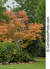colorful maple in the park