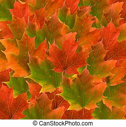 colorful maple leaf background