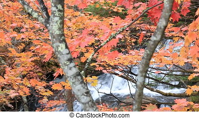 Colorful maple leaf in autumn landscape. - Colorful maple...