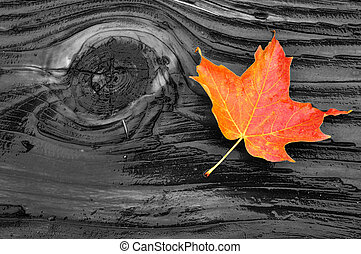 Colorful Maple Leaf on Log - Colorful Maple Leaf on Wet Log...