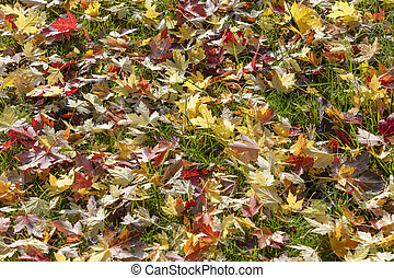 Colorful maple leave on the ground