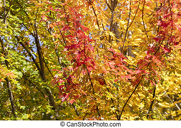 Colorful maple leave tree