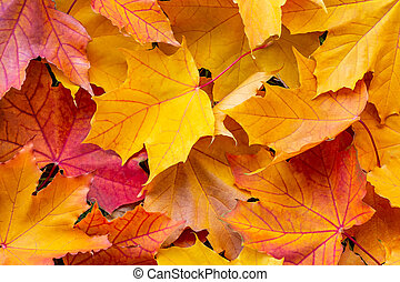 Colorful maple leaves, autumn background, texture