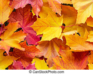 Colorful maple leaves, background, texture
