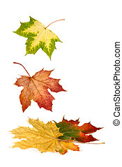 Colorful maple leaves falling down - Isolated maple leaves...