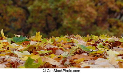 Colorful maple leaves falling on ground