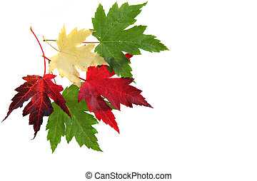 Colorful Maple leaves Isolated