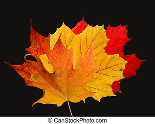 maple leaves on a black background