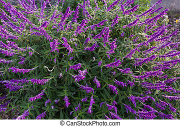Mexican bush sage flowers in purple shade in the garden in...