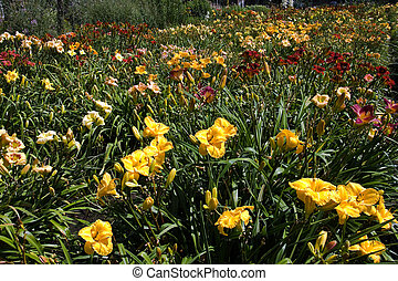 Colorful mix of daylilies - Hemerocallis - blooming om a sunny day in summer