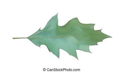 Colorful naturalistic Oak leaf. Vector Illustration.