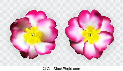 Colorful naturalistic pink white yellow primula on transparent background. Vector Illustration. EPS10