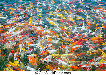 Colorful of beautiful koi fish.