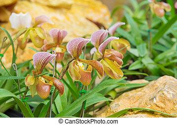 colorful of lady's slipper orchid in Beautiful garden (Paphiopedilum Callosum)