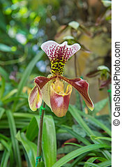 colorful of lady's slipper orchid in Beautiful garden (Paphiopedilum Callosum)
