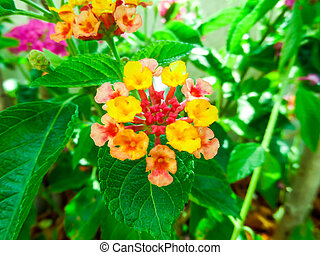 colorful of lantana camara mix light pink orange white magenta in garden