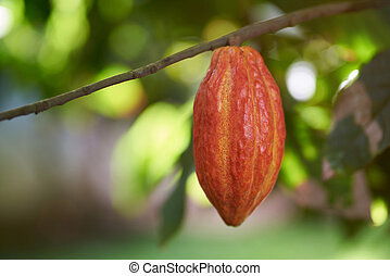 Colorful one cacao pod