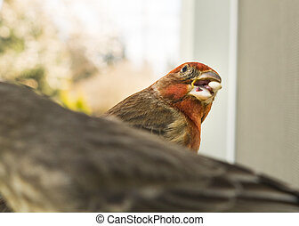Colorful Orange Male House Finch Competes for Seed at Bird Feeder