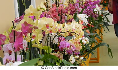 Colorful orchid flowers on exhibition in greenhouse -...