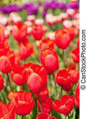 Colorful original tulips