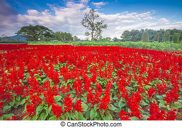 Colorful panorama with a field of red flowers