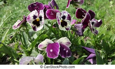 colorful pansy flower. Viola tricol