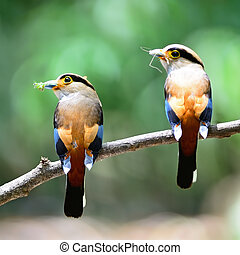 Silver-breasted Broadbill - Colorful parents of...
