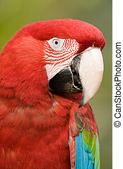 Colorful parrot close up. - Close up of a colorful parrot ...