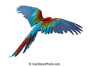 parrot - colorful parrot isolated in white background