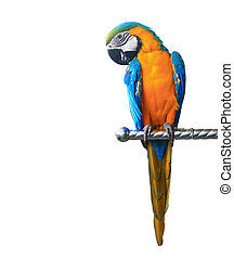 Colorful parrot macaw isolated on white background -...
