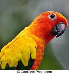 Colorful parrot, Sun Conure (Aratinga solstitialis), side and face profile