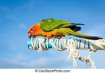Colorful parrot, Sun Conure