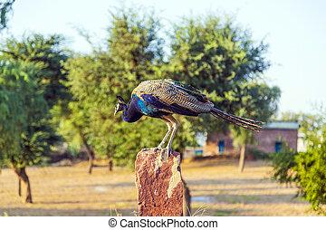 peacock in rural landscape