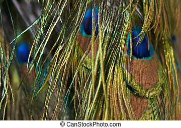 Colorful peacock tail feathers background texture
