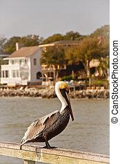 Colorful Pelican on Pier with Coastal Homes in Background