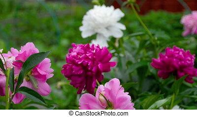 Colorful peony flowers
