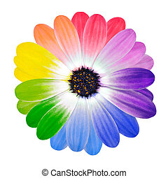 Rainbow Daisy Flower. Multi Colored Petals of Isolated on White Background. Full Spectrum of Colors