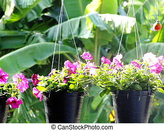 colorful petunia spring and summer in hanging flowers pots