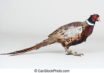 Colorful pheasant animal