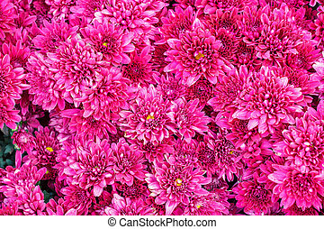 Colorful pink Aster flowers. - Colorful pink Aster flowers...