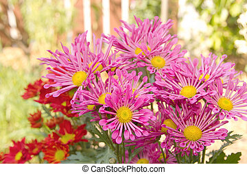 Colorful pink chrysanthemum in the garden