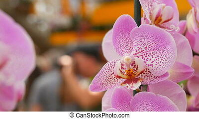 Colorful pink orchid flowers on exhibition in greenhouse -...