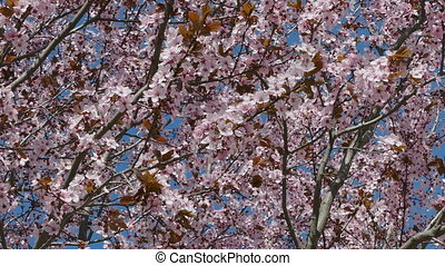 Colorful pink plum flowers in sprin