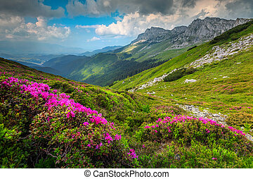 Colorful pink rhododendron flowers in the mountains, Bucegi, Carpathians, Romania