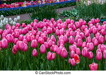 Colorful pink tulips, Keukenhof Park, Lisse in Holland