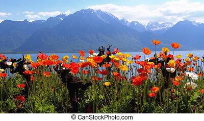 Colorful Poppies against Alpine Mountains and Lake Geneva in...