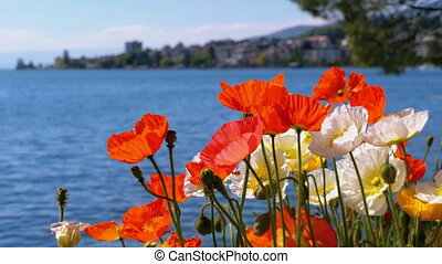 Colorful Poppies Blooming against Lake Geneva and Mountain...