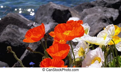 Colorful Poppies Blooming against Stones on Lake Geneva....