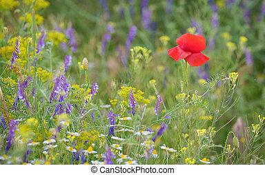 colorful poppy flower on field